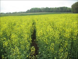 Cover photo for Organic Winter Canola Production in North Carolina