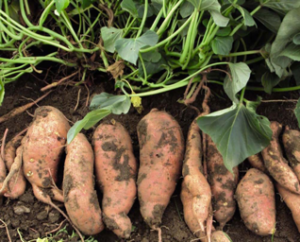 Cover photo for Small Farm Sweet Potato Production Meeting