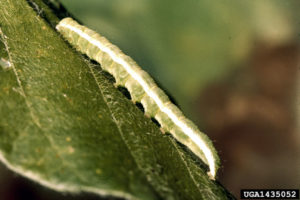 Cover photo for Velvetbean Caterpillar Defoliating Soybeans in Piedmont