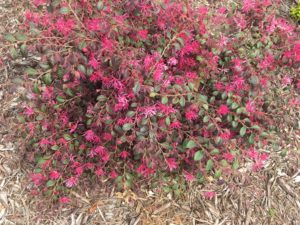 Cover photo for Prune Spring Blooming Shrubs