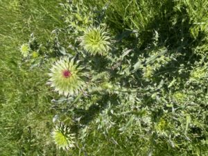 Pre-bloom thistle