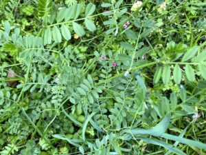 Cover photo for Vetch - Weed ID Wednesday