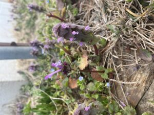 Cover photo for Henbit vs. Purple Deadnettle - Weed ID Wednesday