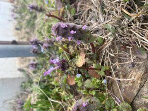Henbit and Purple deadnettle