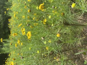 Cover photo for Weed ID Wednesday - Bitter Sneezeweed